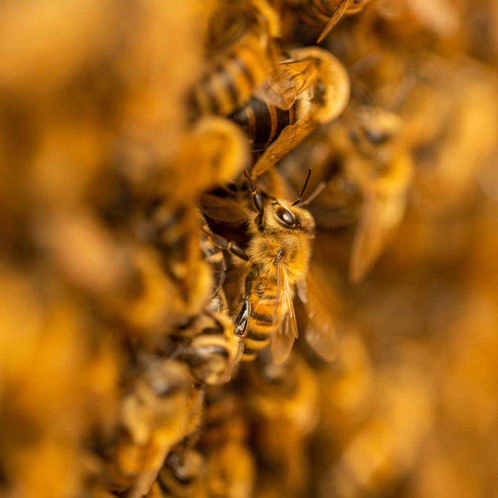 Nahaufnahme einer Bienentraube