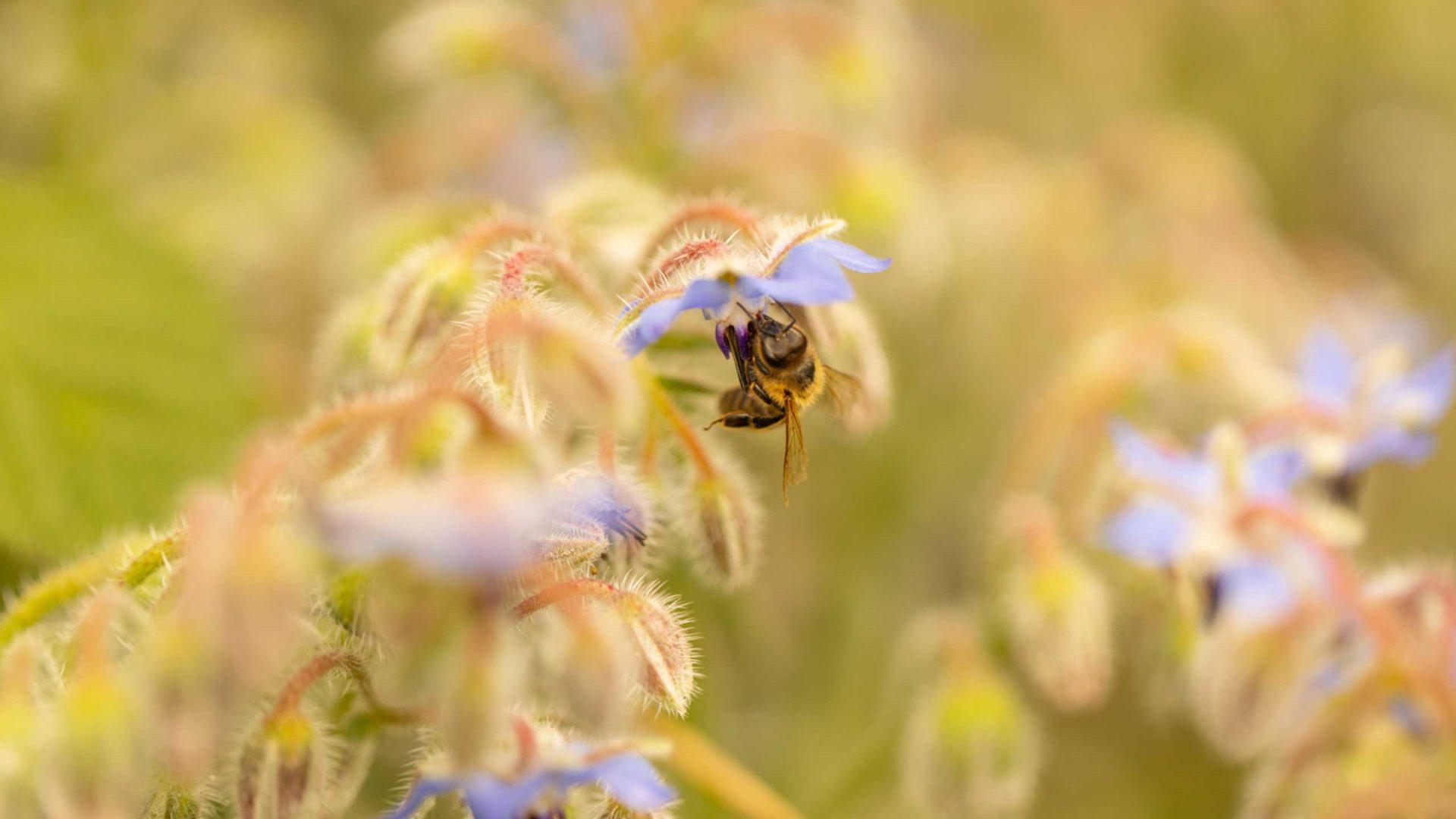 Nahaufnahme einer Biene auf einer Blume