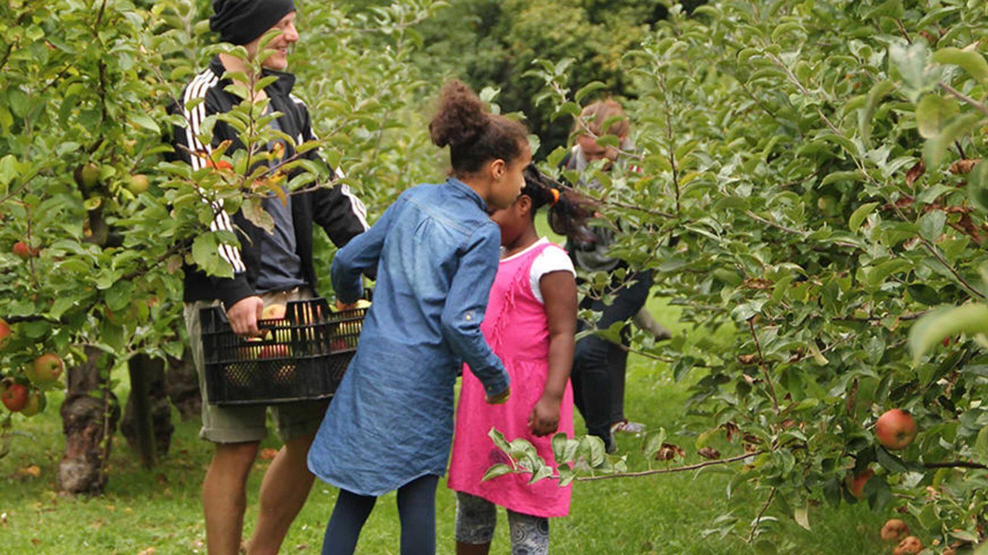 Mitten in der Apfelplantage laufen Kinder und sammeln Streuobst.