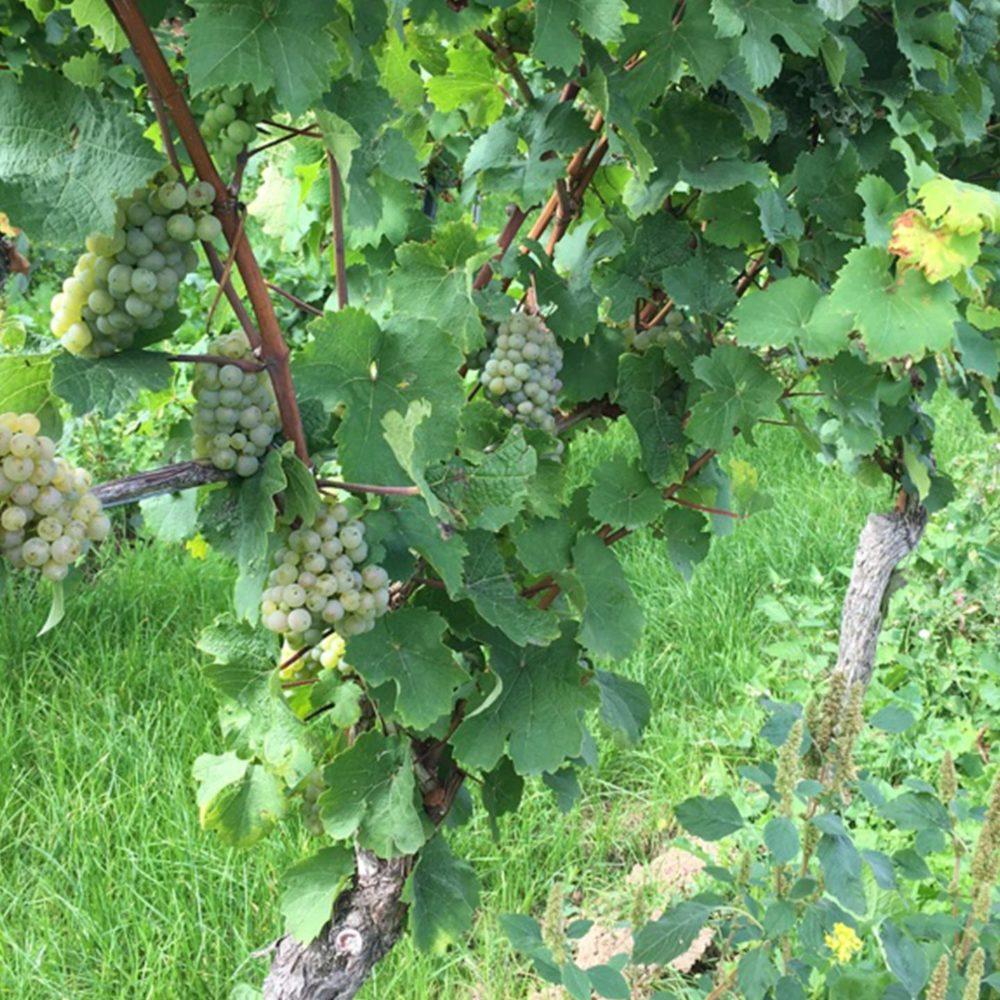 Weinrebe auf dem Weingut Allendorf