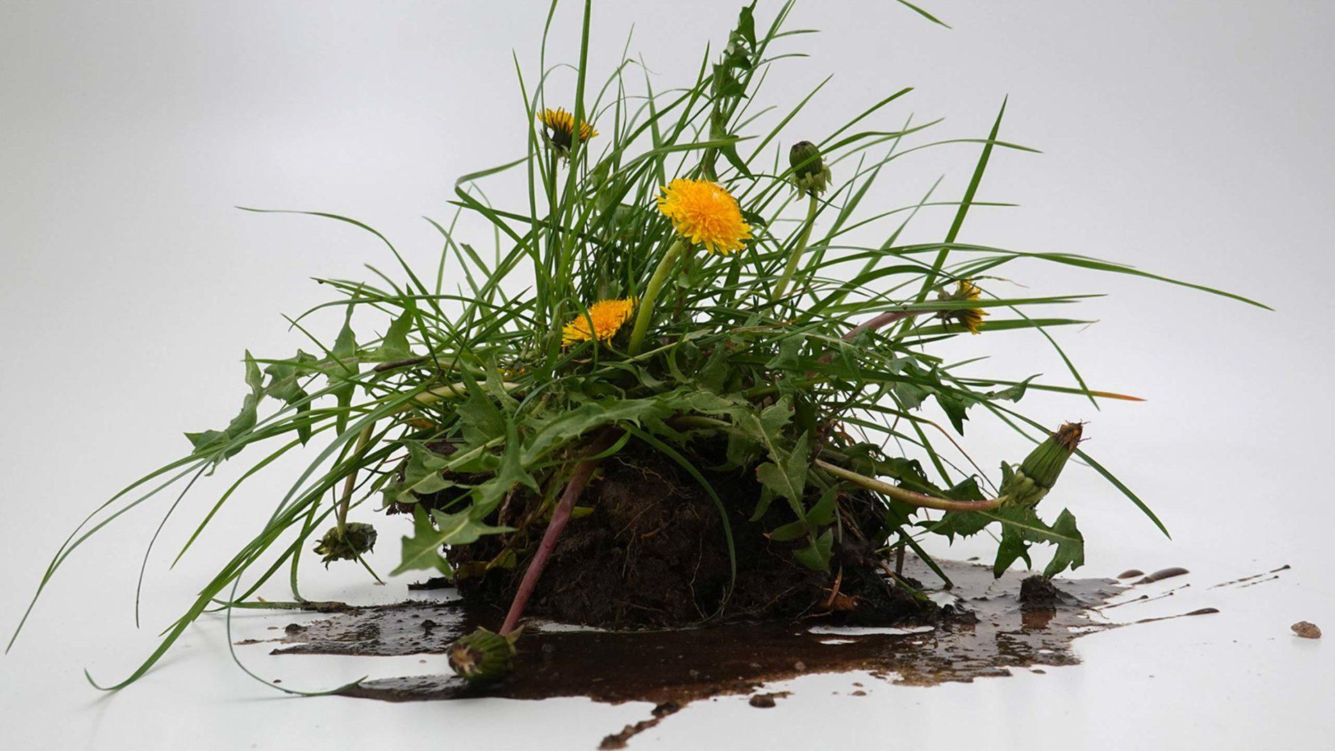 Lowenzahnpflanze mit Gras und Erde