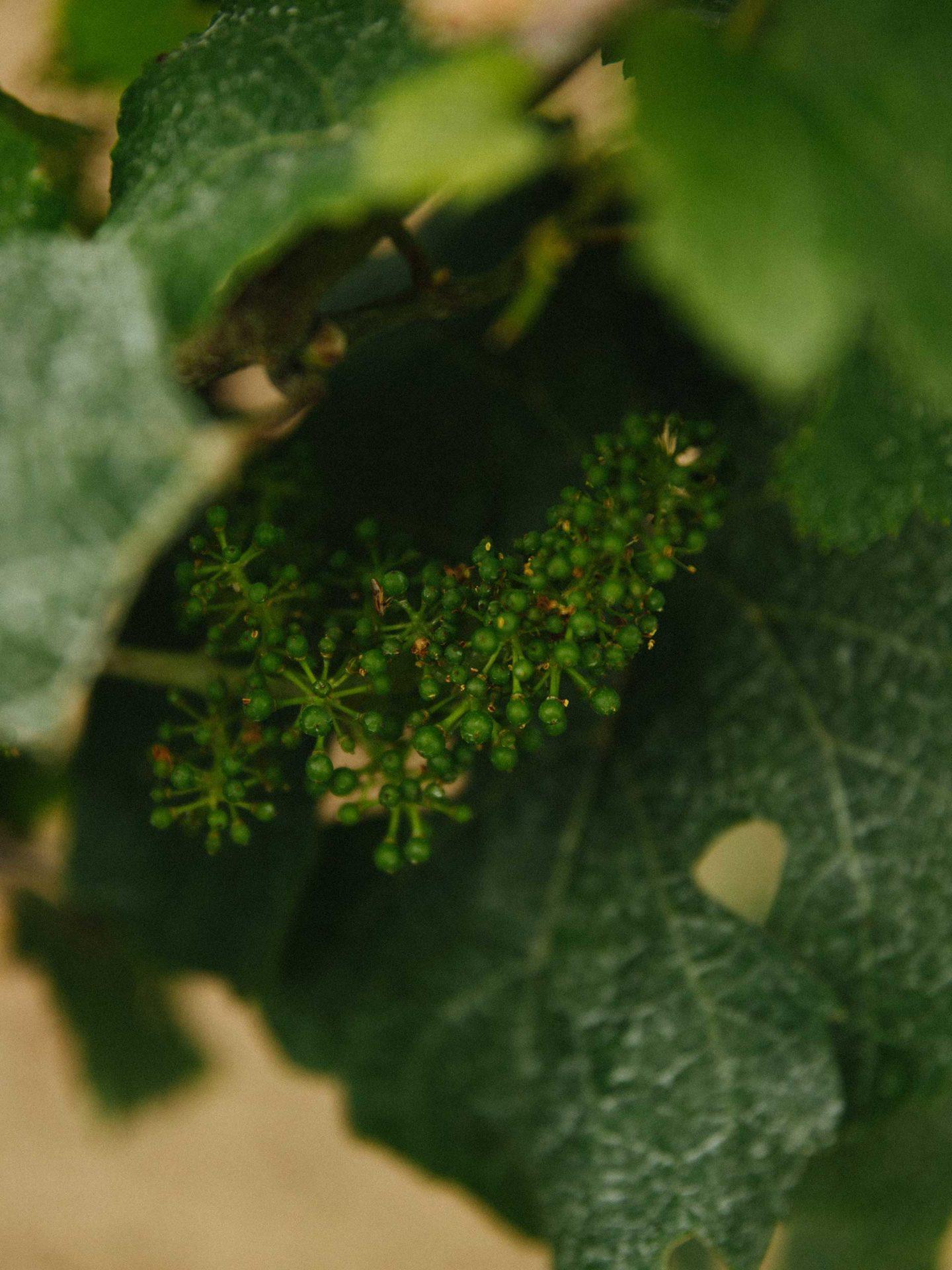Der Anfang einer Weintraube