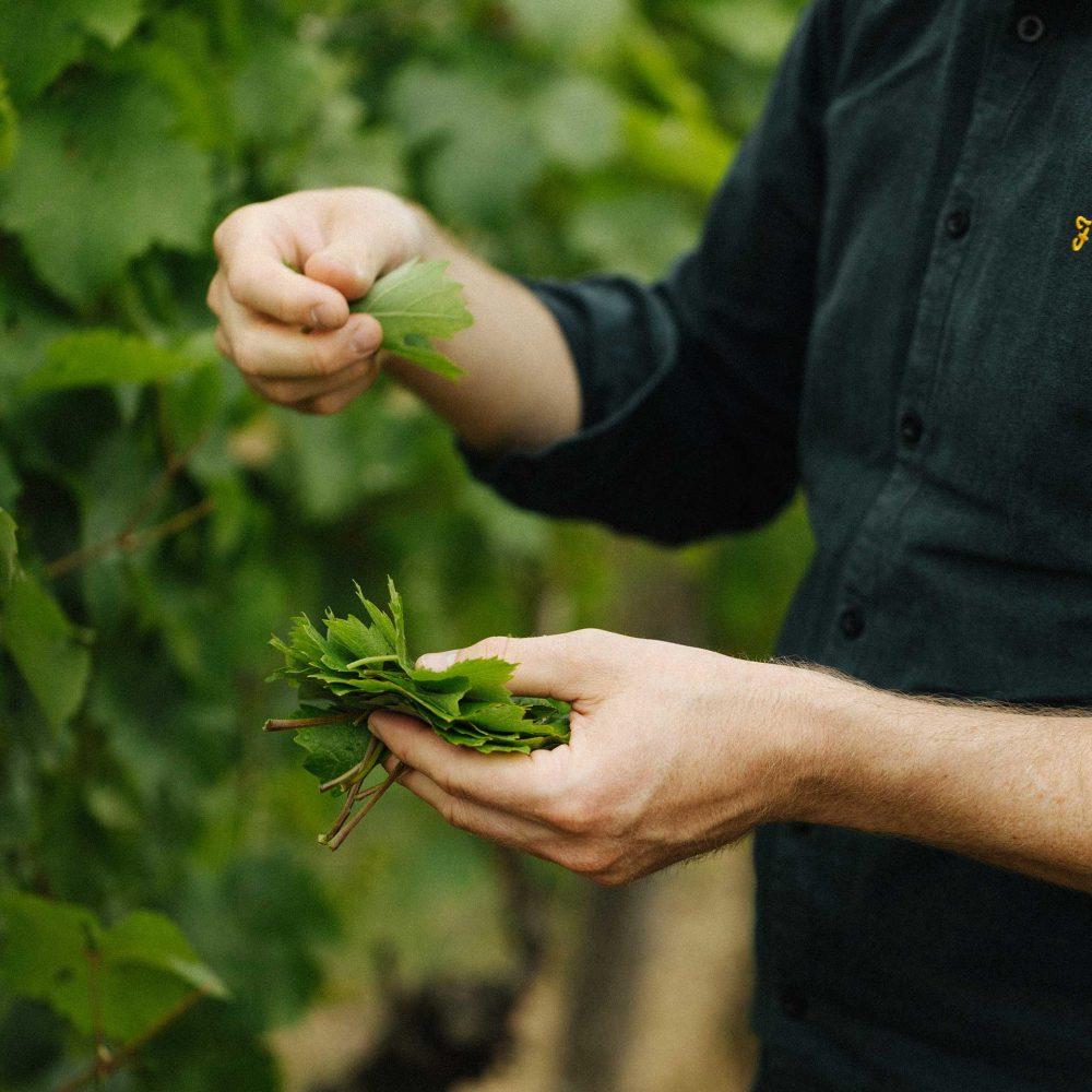 Junge Weinblätter